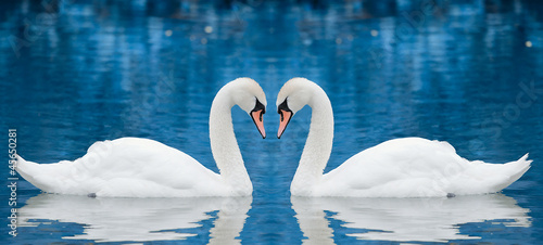 Fotografie, Obraz Couple of swans