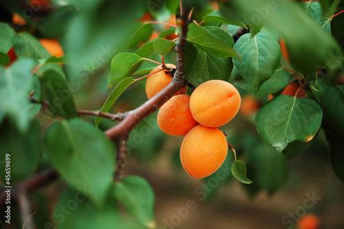 Foto apricot 6