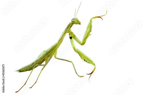 Obraz na plátně  Mante religieuse (Mantis religiosa)