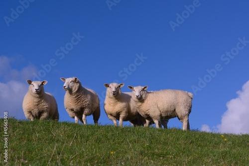Poster Sheep Schaf auf dem Deich