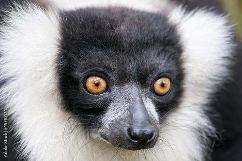 Aluminium Prints Camel Black-and-white ruffed lemur