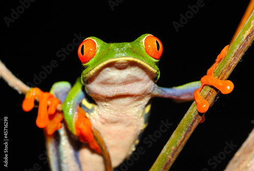 Tuinposter Kikker red eyed green tree or gaudy leaf frog hanging on tree, costa ri