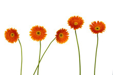 Set Of Gerberas On White Background