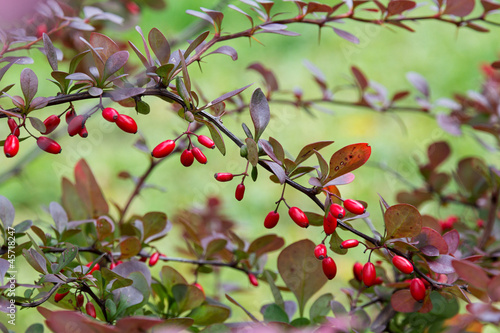 Photo barberry bush