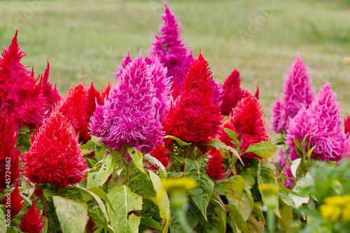 Fotografie, Obraz  plumed cockscomb flowers