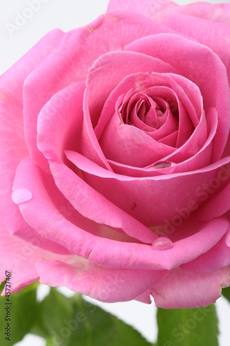 Close up of pink rose heart