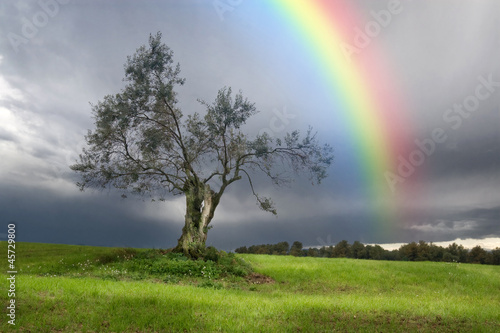 Poster de jardin Tempete Rainbow over a Lonely olive tree