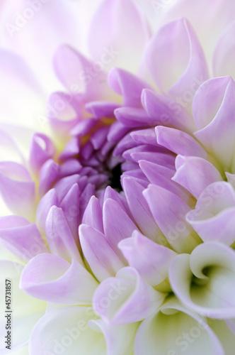 Foto op Plexiglas Dahlia Closeup of dahlia blossom