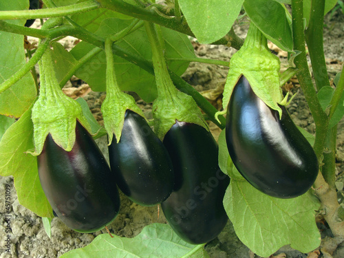 Photo  fruitful eggplant