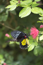 Cattle Heart Butterfly Perching On Pink Flower