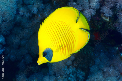 Fotobehang Onder water Bluecheek butterflyfish in the Red Sea, Egypt.