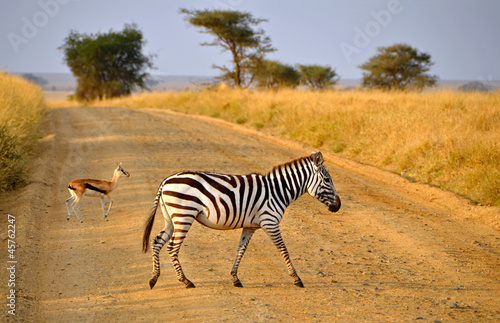 Staande foto Afrika Young Zebra crossing road with Antelope on Safari