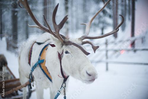 Photographie  Lapland deer