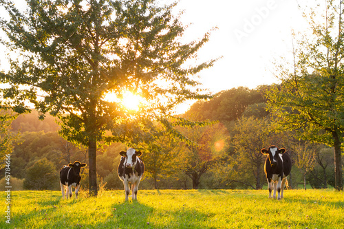 Photo Stands Cow cattle in sunset on field