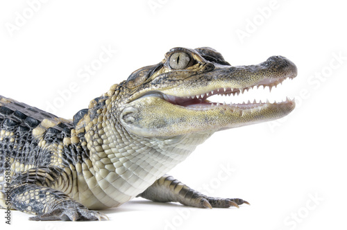 Close-up of young American Alligator on white background. Canvas Print