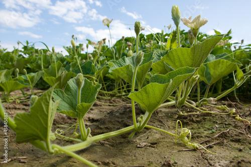 Kurbispflanze Mit Bluten Buy This Stock Photo And Explore Similar