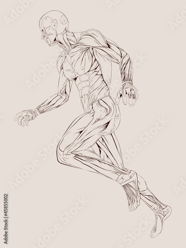 Fotomural Vector Illustration of Human Muscle Anatomy