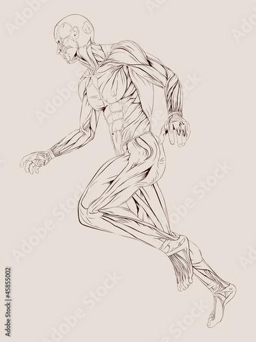 Cuadros en Lienzo Vector Illustration of Human Muscle Anatomy