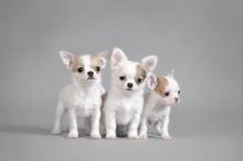 Chihuahua Puppies Portrait