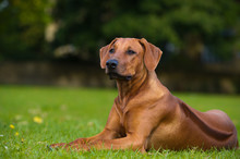 Beautiful Dog Rhodesian Ridgeback Puppy