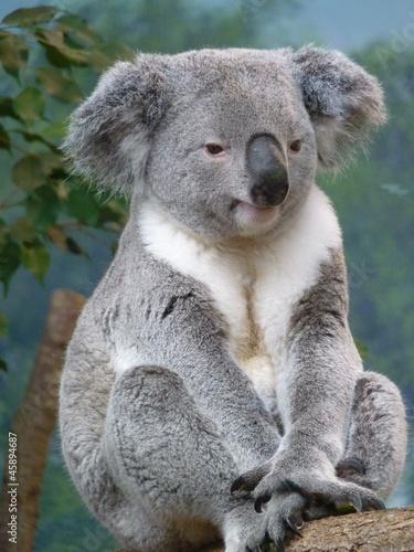 Garden Poster Koala koala assis
