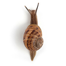 Garden Snail Isolated On White...