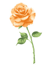 Rose 2 Apricot