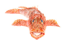 Red Scorpionfish Seafood Isola...