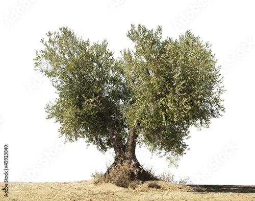 Tuinposter Olijfboom Olive tree white isolated