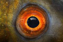 Fish Eye (The Tench - Tinca Tinca).