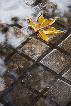 Yellow Leaf In A Puddle