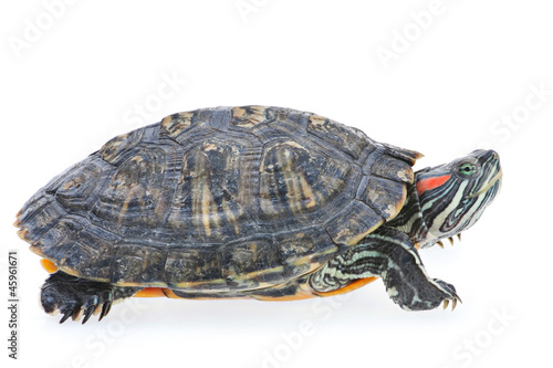 Poster Tortue Red-eared slider