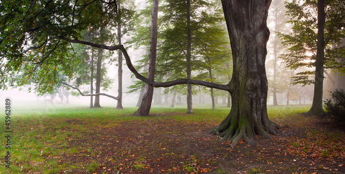 Tuinposter Bos in mist Mighty Beech Tree in foggy forest park