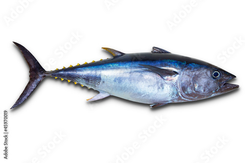 Printed kitchen splashbacks Fishing Bluefin tuna really fresh isolated on white
