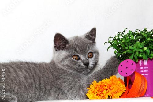 Poster Jaune Britisch Kurzhaar Kitten mit Gießkanne und Spielzeug