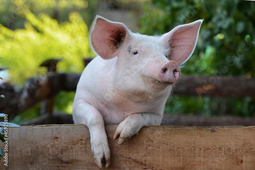 Leinwand Poster Hausschwein