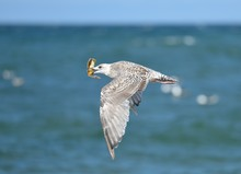 Flying Seagull With Crab