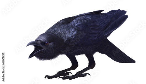 Canvas Print Jungle crow, Corvus macrorhynchos, side view