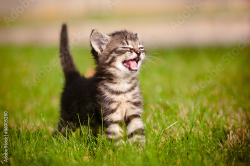 Photo tabby kitten meowing portrait