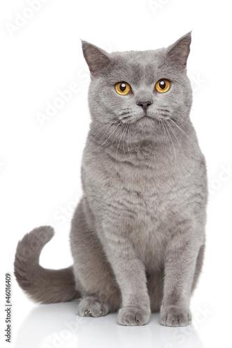 Obraz Portrait of British Shorthair cat - fototapety do salonu