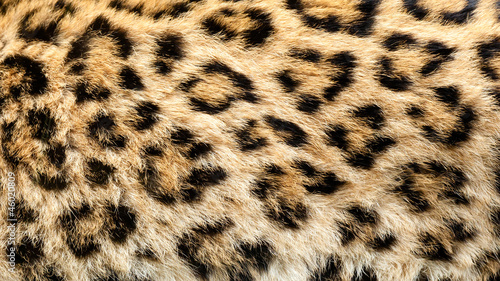 Foto op Canvas Luipaard Real Live North Chinese Leopard Skin Texture Background