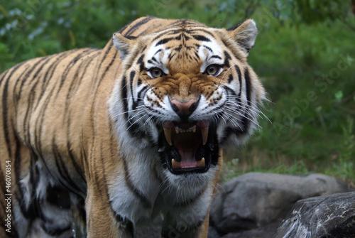 Foto auf AluDibond Tiger Siberian