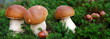 Ceps with moss Panorama