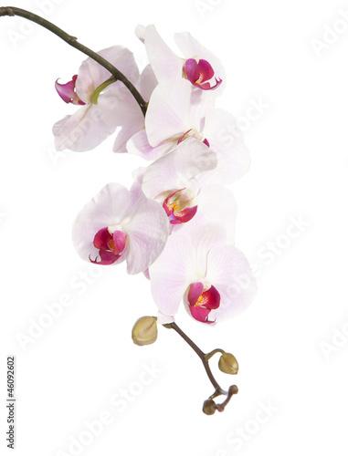 rozowa-orchidea-odizolowywajaca-na-bielu