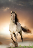 Fototapeta Horses - wild stallion running in sunset