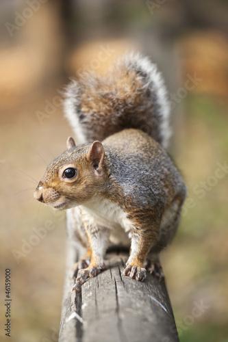Fotografija  scoiattolo