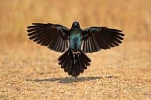 Burchell's Starling Landing