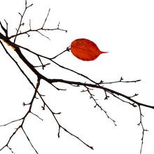 Last Autumn Leaf. Bright Dry Leaves On A Branch. Autumn Landscap