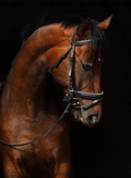 Bay Trakehner Horse with classic bridle