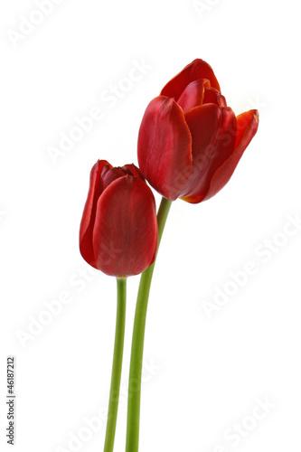 Wall Murals Tulip Zwei Tulpen